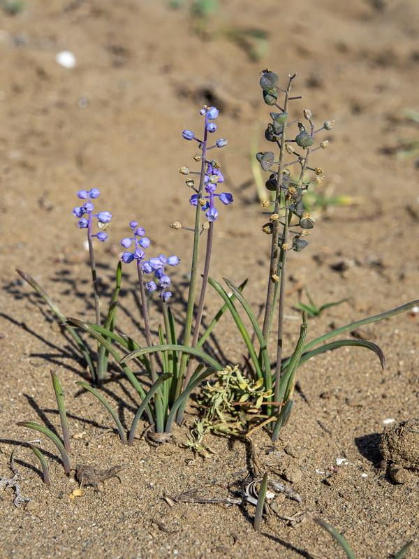 Muscari parviflorum una planta en peligro que solo vive en Málaga.